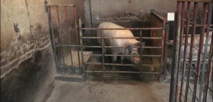Превентива једини спас у борби против свињске куге